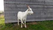 ФГ продає вівці гісарської,  кози,  цапок,  баран